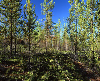 Little Indian Lodgepole pine thinning 23 years after harvest