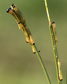 Western Spruce Budworm larvae feeding on needles