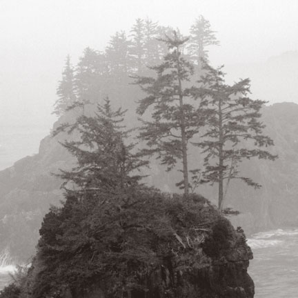 Pacific coastline tree forms in fog