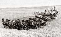 Mule-powered wheat combining
